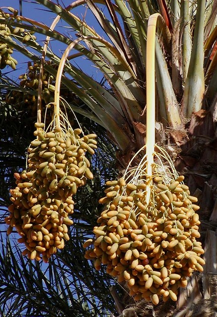 Dates_on_date_palm.jpg